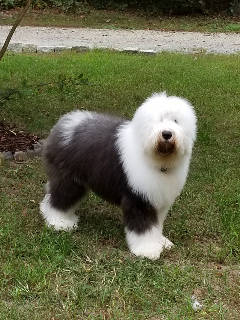 OES Nationals - Aurora Blue Old English Sheepdogs